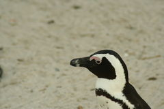 South African penguin closeup stock images