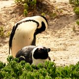 A Pair of Penguins Royalty Free Stock Image