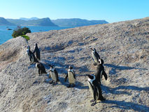 South African penguins Royalty Free Stock Photo