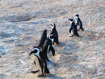 South African penguins Stock Image