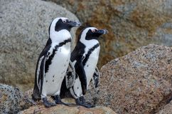 South African penguins stock photo
