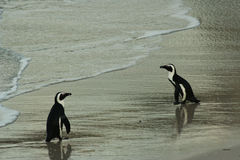South African penguins Kiss Royalty Free Stock Images