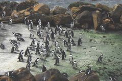 Africa- A Large Colony of Penguins in Conversation stock photos