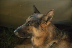 SAPS K9 German Shepherd