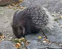 South african porcupine 1 Royalty Free Stock Photography