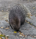 South african porcupine 2 Stock Photography