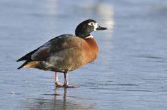 South African Shelduck Stock Photo