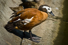 Free South African Shelduck Stock Images - 13416114