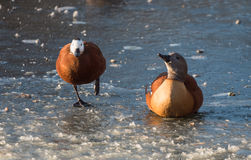South African Shelduck on Ice - Male and Female Stock Image