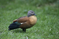 South-african shelduck, Tadorna cana Royalty Free Stock Photos