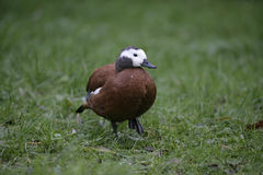 South-african shelduck, Tadorna cana Stock Photos