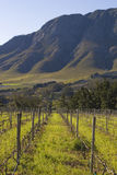 South African vineyard Stock Photos