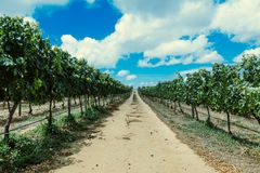 South African Vineyard royalty free stock image