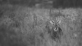 South African Waterbuck Standing in Long Grass Stock Image
