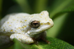 South African white painted reed frog. Close up view of a South African white painted reed frog in it's natural enviroment stock photo
