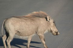 South African wild boar. Crossing street Stock Photos