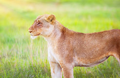 South African wild lioness. Portrait of beautiful animal on fresh green grass field, big five, game drive, beauty of wildlife royalty free stock photos