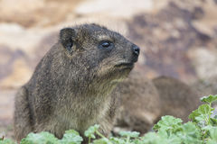 South African Wild Rock Dassie Royalty Free Stock Image