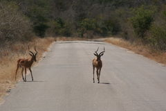 South African wildlife. Deer in the wild Stock Photography