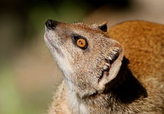 South African Yellow mongoose. Or Red Meerkat (Cynictis penicillata), closeup of the head Royalty Free Stock Photography