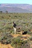 South African Zebra Baby Calf Royalty Free Stock Photo