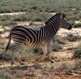 South African Zebra Roaming Stock Photos