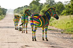South African Zebras. Decorated with the South African flag colours pperaring for the 2010 Fottball World Cup stock images