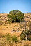 South African zebras coming down the hill Royalty Free Stock Image