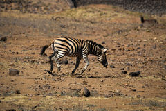 South African zebras fighting near waterhole Stock Images