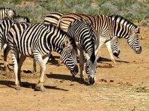 South African Zebras Grazing. This photo was taken in June, 2013 in South Africa. These Zebra are grazing for food Royalty Free Stock Photo