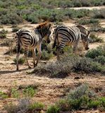 South African Zebras Roaming Stock Photos