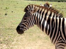 South Afrika Addo Royalty Free Stock Photography