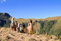 South America Alpaca and llama,Pasochoa Ecuador Royalty Free Stock Photo
