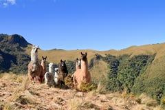 South America Alpaca och llama, Pasochoa Ecuador Royaltyfri Foto
