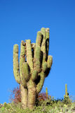 South America huge cactus royalty free stock photography
