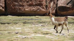 Llama Lama In The Nature. South America Llama in valley Royalty Free Stock Photography