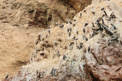 South America, Peru, wildlife on Islas Ballestas. South America, Peru, Sxouth Coast, Islas Ballestas near Paracas National Park, although grandiosely nickname Stock Photo