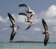 SOUTH AMERICA VENEZUELA LOS ROQUES SEABIRDS PELICAN Stock Photography