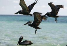 SOUTH AMERICA VENEZUELA LOS ROQUES SEABIRDS PELICAN Royalty Free Stock Photos