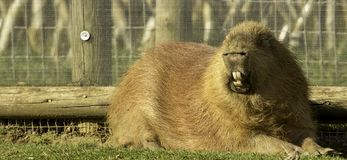 South America Viva. A rather chubby wee animal called a South America Viva royalty free stock photography