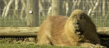 South America Viva. A rather chubby wee animal called a South America Viva royalty free stock photos