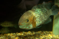 South American cichlid. A south american cichlid fish in a pet store Stock Images