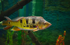 South american cichlid Royalty Free Stock Photos