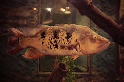 South american cichlid Stock Image