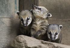 South American Coati. Three little siblings Coati are curiously explore the world - portraits Stock Image