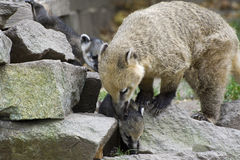 South American Coati Royalty Free Stock Images