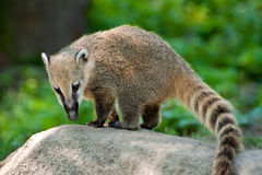 South American Coati. Is standing on top of rock Stock Photos
