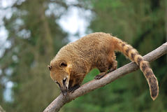 South American coati. / ring-tailed coati (Nasua nasua), ZOO Olomouc - Czech republic Stock Photos