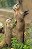 South american coati Stock Images
