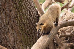 South american coati Stock Image